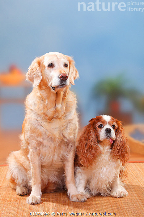Cavalier King Charles Spaniel, blenheim, 9 years, lying down on right and Golden Retriever, 12 years sitting on left.  ,  CANIDAE,CUTE,DOG,DOGS,DOMESTIC DOGS,FRIENDS,GUNDOGS,INDOORS,LARGE DOGS,MAMMALS,MIXED BREEDS,PETS,PORTRAITS,SITTING,STUDIO,TWO,VERTEBRATES,VERTICAL,Canids  ,  Petra Wegner