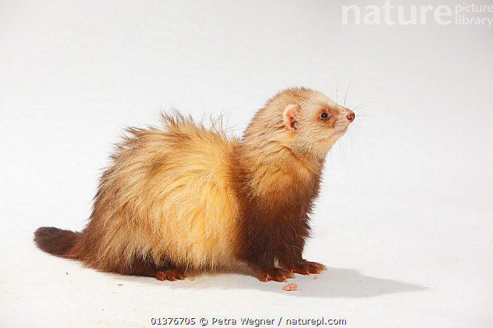 Domestic Ferret (Mustela putorius furo) sitting down.  ,  BROWN,CARNIVORES,CUTOUT,INDOORS,MAMMALS,MUSTELIDS,PETS,PROFILE,SITTING,STUDIO,VERTEBRATES,WEASELS,WHITE BACKGROUND  ,  Petra Wegner