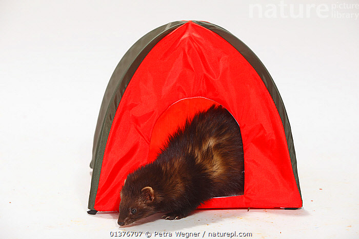 Domestic Ferret (Mustela putorius furo) emerging from a little red tent.  ,  BEHAVIOUR,BLACK,BROWN,CARNIVORES,CUTOUT,INDOORS,MAMMALS,MUSTELIDS,PETS,PLAY,PLAYING,PROFILE,STUDIO,VERTEBRATES,WEASELS,WHITE BACKGROUND,Communication  ,  Petra Wegner