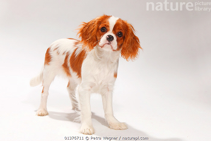 Cavalier King Charles Spaniel, blenheim puppy, 4 1/2 months, standing.  ,  animal marking,BABIES,Canidae,catalogue4,Cavalier King Charles Spaniel,curiosity,CUTE,CUTOUT,Dog,DOGS,domestic dogs,full length,INDOORS,JUVENILE,looking at camera,MAMMALS,Nobody,one animal,PETS,PORTRAITS,puppies,puppy,small dogs,spaniel,STANDING,Studio,studio shot,toy dogs,VERTEBRATES,white background,YOUNG,young animal,Canids  ,  Petra Wegner