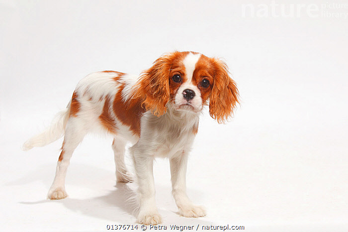 Cavalier King Charles Spaniel, blenheim puppy, 4 1/2 months, standing.  ,  BABIES,CANIDAE,CUTE,CUTOUT,DOG,DOGS,DOMESTIC DOGS,INDOORS,JUVENILE,LOOKING AT CAMERA,MAMMALS,PETS,PORTRAITS,PUPPIES,SMALL DOGS,STANDING,STUDIO,TOY DOGS,VERTEBRATES,WHITE BACKGROUND,YOUNG,Canids  ,  Petra Wegner
