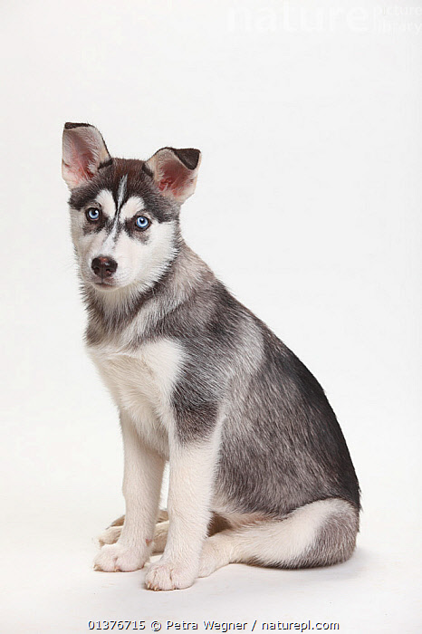 Siberian Husky, puppy, 11 weeks, sitting portrait.  ,  BABIES,CANIDAE,CUTE,CUTOUT,DOG,DOGS,DOMESTIC DOGS,INDOORS,JUVENILE,LARGE DOGS,LOOKING AT CAMERA,MAMMALS,PETS,PORTRAITS,PUPPIES,SITTING,STUDIO,VERTEBRATES,VERTICAL,WHITE BACKGROUND,WORKING DOGS,YOUNG,Canids  ,  Petra Wegner