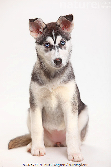 Siberian Husky, puppy, 11 weeks, sitting portrait.  ,  BABIES,CANIDAE,CUTE,CUTOUT,DOG,DOGS,DOMESTIC DOGS,EYES,INDOORS,JUVENILE,LARGE DOGS,LOOKING AT CAMERA,MAMMALS,PETS,PORTRAITS,PUPPIES,SITTING,STUDIO,VERTEBRATES,VERTICAL,WHITE BACKGROUND,WORKING DOGS,YOUNG,Canids  ,  Petra Wegner