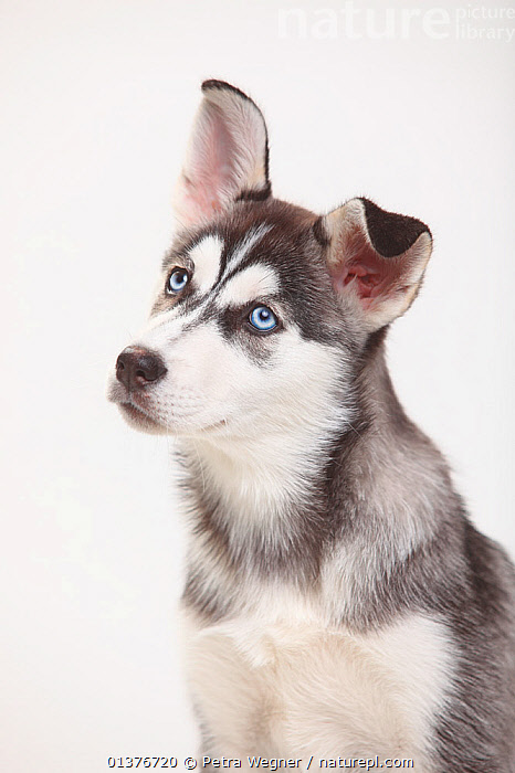 Siberian Husky, puppy, 11 weeks, head portrait.  ,  BABIES,CANIDAE,CUTE,CUTOUT,DOG,DOGS,DOMESTIC DOGS,EYES,INDOORS,JUVENILE,LARGE DOGS,MAMMALS,PETS,PORTRAITS,PROFILE,PUPPIES,STUDIO,VERTEBRATES,VERTICAL,WHITE BACKGROUND,WORKING DOGS,YOUNG,Canids  ,  Petra Wegner