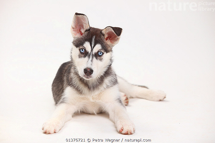 Siberian Husky, puppy, 11 weeks, lying down.  ,  BABIES,CANIDAE,CUTE,CUTOUT,DOG,DOGS,DOMESTIC DOGS,EYES,INDOORS,JUVENILE,LARGE DOGS,LOOKING AT CAMERA,MAMMALS,PETS,PORTRAITS,PUPPIES,STUDIO,VERTEBRATES,WHITE BACKGROUND,WORKING DOGS,YOUNG,Canids  ,  Petra Wegner