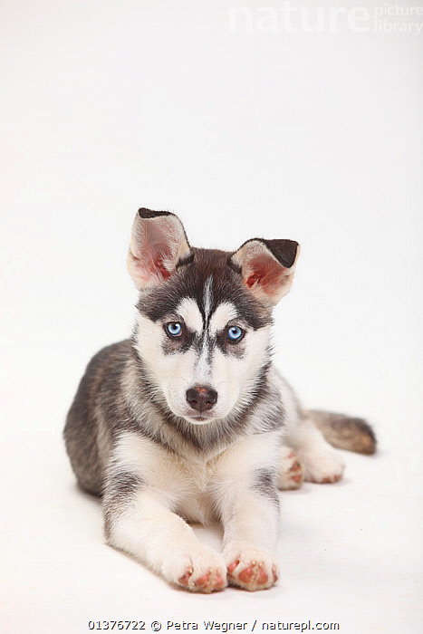 Siberian Husky, puppy, 11 weeks, lying down.  ,  animal portrait,BABIES,Canidae,catalogue4,close up,CUTOUT,Dog,DOGS,domestic dogs,EYES,front view,INDOORS,JUVENILE,large dogs,looking at camera,lying down,MAMMALS,Nobody,one animal,PETS,PORTRAITS,puppies,puppy,Siberian Husky,staring,Studio,VERTEBRATES,VERTICAL,white background,working dogs,YOUNG,young animal,Canids  ,  Petra Wegner