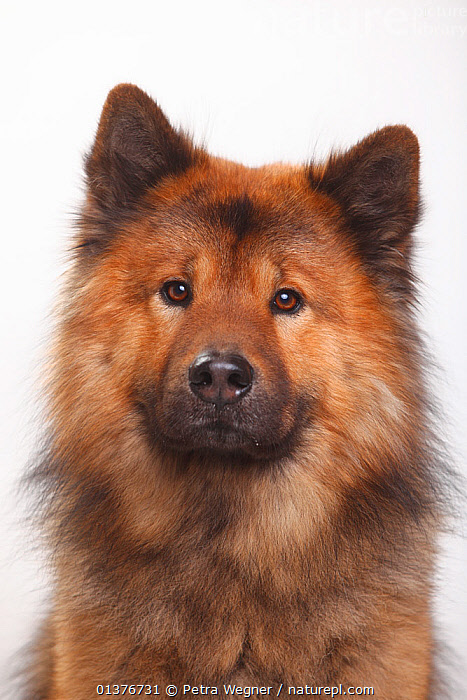 Eurasier, head portrait., animal head,BROWN,Canidae,catalogue4,close up,CUTE,CUTOUT,Dog,DOGS,domestic dogs,Eurasier,FACES,facial expression,FUR,HEADS,INDOORS,longing,looking at camera,MAMMALS,medium dogs,Nobody,one animal,PETS,PORTRAITS,PROFILE,sadness,Studio,utility dog,VERTEBRATES,VERTICAL,white background,wistful,Canids, Petra Wegner