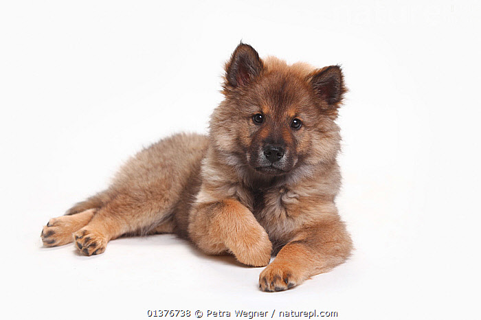Nature Picture Library - Eurasier, puppy, 10 weeks, lying
