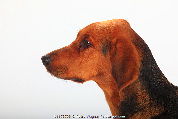 Ogar Polski / Polish Hound, short haired bitch, head profile., animal head,BLACK,BROWN,Canidae,catalogue4,close up,CUTE,CUTOUT,Dog,DOGS,female animal,FEMALES,HEADS,hounds,INDOORS,large dogs,MAMMALS,Nobody,Ogar Polski,one animal,PETS,Polish hound,pride,PROFILE,serious,short haired,side view,Studio,studio shot,tan,thinking,VERTEBRATES,white background,Canids, Petra Wegner