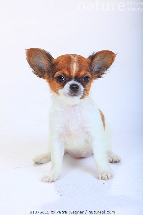 Chihuahua, longhaired puppy, 9 weeks, sitting portrait.  ,  animal ear,animal portrait,BABIES,Canidae,catalogue4,chihuahua,close up,CUTE,CUTOUT,Dog,DOGS,EARS,front view,INDOORS,JUVENILE,longhaired,looking at camera,MAMMALS,Nobody,one animal,ORANGE,PETS,PORTRAITS,PROFILE,puppies,puppy,SITTING,SMALL,small dogs,Studio,studio shot,toy dogs,VERTEBRATES,VERTICAL,WHITE,white background,YOUNG,young animal,Canids  ,  Petra Wegner