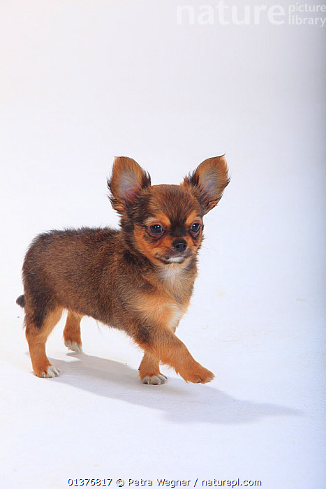 Chihuahua, longhaired puppy, 9 weeks, standing portrait.  ,  BABIES,BLACK,Canidae,catalogue4,chihuahua,copyspace,CUTE,CUTOUT,DETERMINATION,Dog,DOGS,full length,INDOORS,JUVENILE,longhaired,MAMMALS,Nobody,one animal,ORANGE,PETS,PORTRAITS,PROFILE,puppies,puppy,serious,side view,small dogs,STANDING,Studio,studio shot,toy dogs,VERTEBRATES,VERTICAL,WALKING,WHITE,white background,YOUNG,young animal,Canids  ,  Petra Wegner
