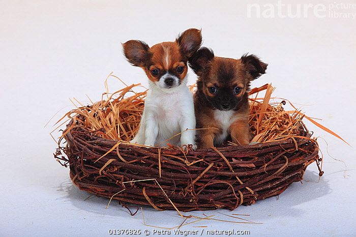 Chihuahuas, longhaired, two puppies, 9 weeks, sitting in a straw basket, BABIES,basket,BROWN,Canidae,catalogue4,chihuahua,close up,CUTE,CUTOUT,Dog,DOGS,FAMILIES,FRIENDSHIP,INDOORS,JUVENILE,longhaired,looking at camera,MAMMALS,natural fibre,Nest,NESTS,Nobody,ORANGE,out of context,PETS,PORTRAITS,PROFILE,puppy,side by side,SITTING,small dogs,Straw,Studio,studio shot,Togetherness,toy dogs,two,two animals,VERTEBRATES,WHITE,white background,YOUNG,young animal,Concepts,Canids, Petra Wegner