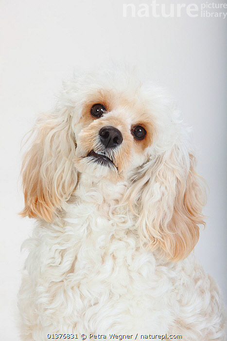 Mixed breed, white, long haired Cockerpoo /  Cockapoo dog, head portrait. Poodle Cocker spaniel cross,, all white,animal head,animal portrait,Canidae,catalogue4,close up,Cockapoo,cocker spaniel,Cockerpoo,CUTE,CUTOUT,Dog,DOGS,HEADS,INDOORS,longhaired,looking up,MAMMALS,mixed breed,mixed breed,mongrel,Nobody,one animal,PETS,poodle,PORTRAITS,Studio,studio shot,VERTEBRATES,VERTICAL,WHITE,white background,white colour,Canids, Petra Wegner