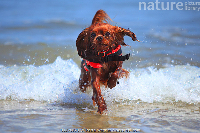 Cavalier King Charles Spaniel, ruby, running out of the sea wearing a lifejacket / life vest.  ,  ACTION,BEHAVIOUR,Canidae,catalogue4,Cavalier King Charles Spaniel,CUTE,Dog,DOGS,enthusiasm,front view,FUR,JUVENILE,lifejacket,looking at camera,MAMMALS,Nobody,on the move,one animal,outdoors,PETS,precaution,puppies,ruby colour,RUNNING,safety,sea,small dogs,tan,tide,toy dogs,VERTEBRATES,WATER,wave,WAVES,wet,YOUNG,Canids  ,  Petra Wegner