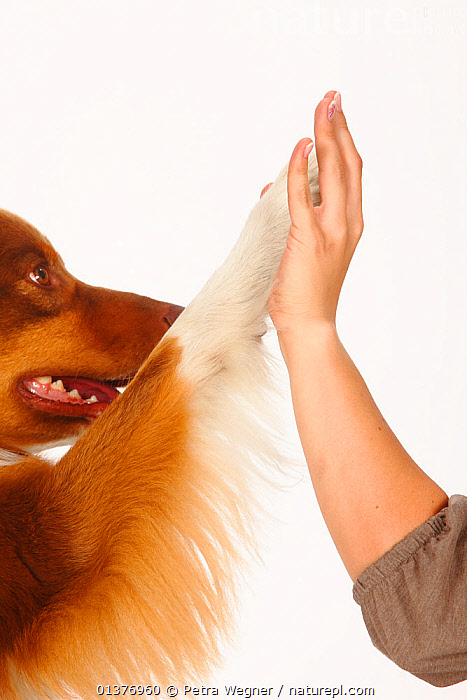 Australian Shepherd, red-tri, close up of paw touching womans hand. Model released, agreement,australian shepherd dog,BEHAVIOUR,Canidae,catalogue4,close up,CLOSE UPS,connection,CUTE,CUTOUT,DOGS,female,FRIENDSHIP,hand,HANDS,high five,human hand,INDOORS,INTERACTION,medium dogs,one animal,one person,part of,pastoral dogs,paw,PAWS,PEOPLE,PETS,PORTRAITS,side view,Studio,studio shot,tan,touching,training,VERTEBRATES,VERTICAL,WHITE,white background,WOMAN,Concepts,Canids, Petra Wegner