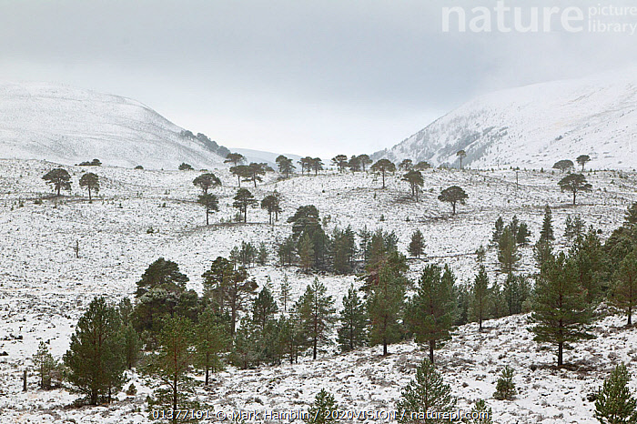 Scattered Scots pines (Pinus sylvestris) in winter, Abernethy NNR, Cairngorms NP, Scotland, UK, December 2011  ,  2020VISION,ATMOSPHERIC,CAIRNGORMS,CALEDONIAN PINE FOREST,CALEDONIAN PINEWOODS,COLD,CONIFEROUS,CONIFERS,EUROPE,GYMNOSPERMS,HIGHLANDS,LANDSCAPES,MIST,NNR,NP,PINACEAE,PINES,PLANTS,RESTORATION,SCOTLAND,SNOW,TREES,TRUNKS,UK,WEATHER,WHITE,WINTER,WOODLANDS,National Park,United Kingdom  ,  Mark Hamblin / 2020VISION