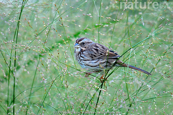 White throated sparrow (Zonotrichia albicollis) perched on grass, Quebec, Canada, October  ,  BIRDS,GRASSES,SEEDS,CANADA,NORTH AMERICA,SPARROWS,VERTEBRATES  ,  Loic Poidevin