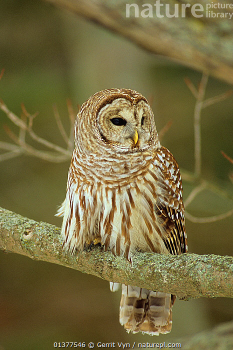 Barred owl (Strix varia) hunting in day, Ontario, Canada. When food is scarce Barred Owls from the northern limits of this species range can sometimes be found hunting by day, BIRDS,PORTRAITS,USA,VERTICAL,BIRDS OF PREY,CANADA,NORTH AMERICA,OWLS,VERTEBRATES,WINTER,Raptor, Gerrit Vyn