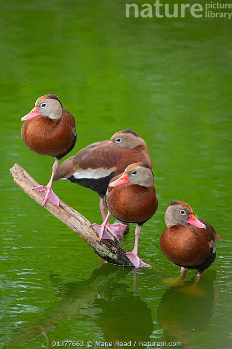 Four Black-bellied whistling-ducks (Dendrocygna autumnalis) perched on a partially-submerged branch in water, Edinburg Wetlands, Edinburg, Texas, USA, March  ,  BIRDS,GROUPS,USA,VERTICAL,WATER,WATERFOWL,FOUR,NORTH AMERICA,VERTEBRATES,WHISTLING DUCKS  ,  Marie Read