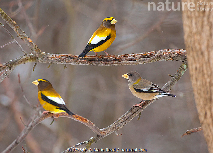 Three Evening grosbeaks (Coccothraustes vespertinus) perched, two males and one female, Madison County, New York, USA, January  ,  FEMALES,HAWFINCH,MALES,NORTH AMERICA,VERTEBRATES,BIRDS,FINCHES,USA  ,  Marie Read