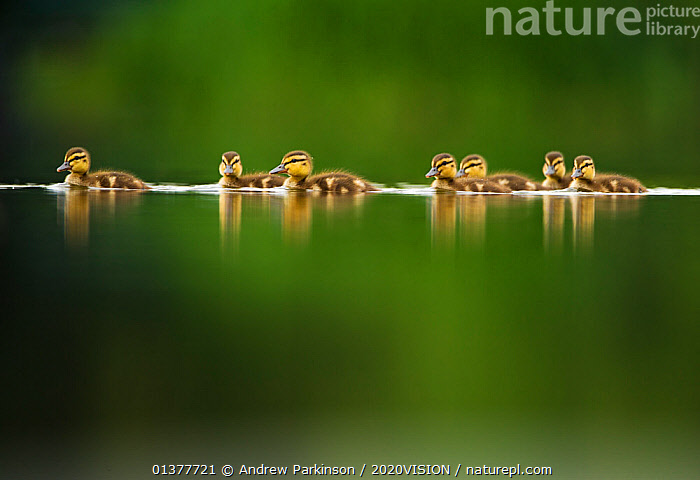 A line of Mallard (Anas platyrhynchos) ducklings swimming on a still lake, Derbyshire, England, UK, June. Did you know? A Mallard duck will lay more than half her body weight in eggs.  ,  BABIES,BIRDS,DUCK,EUROPE,LAKES,REFLECTIONS,WATERFOWL,WETLANDS,2020VISION,CALM,CHICKS,CUTE,picday,DUCKS,ENGLAND,SEVEN,UK,URBAN,VERTEBRATES,Wildfowl,United Kingdom,2020cc  ,  Andrew Parkinson / 2020VISION
