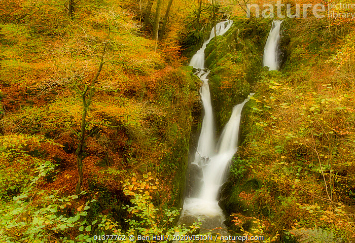 Stock Ghyll waterfall in autumn, with motion blur from wind, Lake District NP, Cumbria, England, UK, November  ,  AUTUMN,BLURRED,COLOUR CHANGES,EUROPE,HILLS,LAKE DISTRICT,MOVEMENT,TREES,UPLANDS,WATERFALLS,2020VISION,ENGLAND,LANDSCAPES,NP,RESERVE,SOFT FOCUS,SOFT FOCUS,STREAMS,UK,WOODLANDS,National Park,PLANTS,United Kingdom,2020cc  ,  Ben Hall / 2020VISION