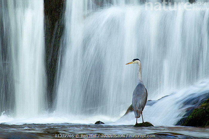 Grey heron (Ardea cinerea) standing on rock at the base of a waterfall, Lake District NP, Cumbria, England, UK, November  ,  2020VISION,ENGLAND,NP,RESERVE,STREAMS,TIME EXPOSURE,UK,VERTEBRATES,ARDEIDAE,BIRDS,BLURRED,EUROPE,HERONS,HILLS,LAKE DISTRICT,MOVEMENT,UPLANDS,WATERFALLS,National Park,United Kingdom  ,  Ben Hall / 2020VISION