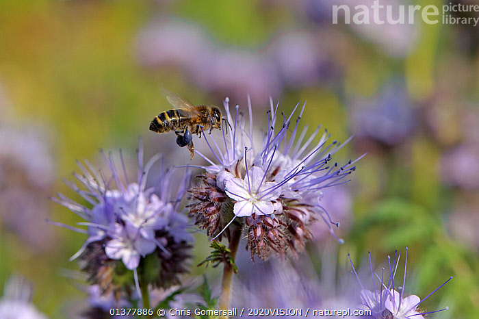 Honey bee (Apis mellifera) worker alighting on a Scorpionweed (Phacelia tancetifolia) flower in conservation margin at RSPB's Hope Farm Reserve in order to feed, Cambridgeshire, England, UK, May  ,  ARTHROPODS,EUROPE,FARMLAND,FLYING,HYMENOPTERA,INSECTS,ONE,PLANTS,2020VISION,APIDAE,BEES,DICOTYLEDONS,ENGLAND,FEEDING,FLOWERS,HYDROPHYLLACEAE,INVERTEBRATES,POLLINATION,RESERVE,UK,United Kingdom ,honeybee,honeybees,,Dispersal,  ,  Chris Gomersall / 2020VISION