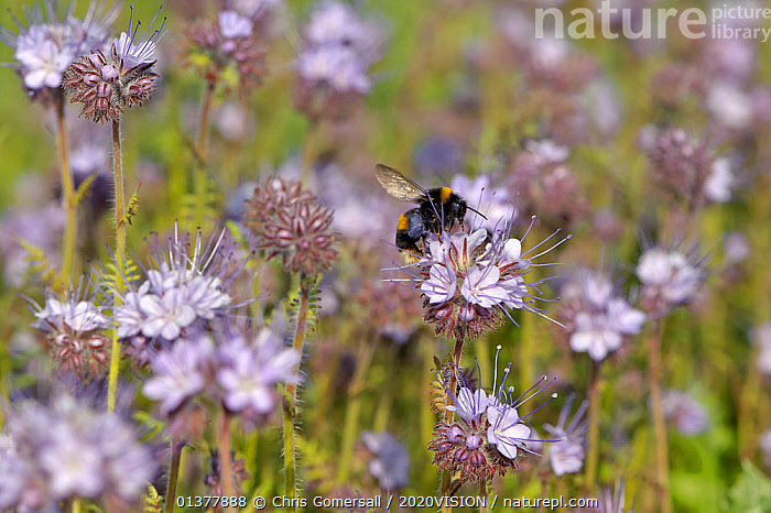 Buff-tailed bumble bee (Bombus terrestris) worker feeding on nectar from Scorpionweed (Phacelia tancetifolia) flowers in a conservation margin at RSPB's Hope Farm  Reserve, Cambridgeshire, England, UK, May  ,  ARTHROPODS,EUROPE,FARMLAND,HYMENOPTERA,INSECTS,ONE,PLANTS,2020VISION,BEES,BLUE,BUMBLEBEES,DICOTYLEDONS,ENGLAND,FEEDING,FLOWERS,HYDROPHYLLACEAE,INVERTEBRATES,POLLINATION,RESERVE,UK,United Kingdom  ,  Chris Gomersall / 2020VISION