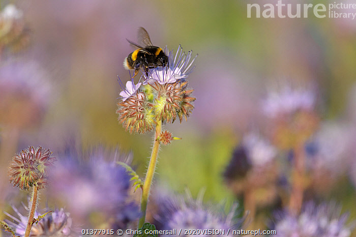 Buff-tailed bumble bee (Bombus terrestris) worker feeding on nectar from a Scorpionweed (Phacelia tancetifolia) flower in a conservation margin, Hope Farm RSPB reserve, Cambridgeshire, England, UK, May  ,  ARTHROPODS,EUROPE,FARMLAND,HYMENOPTERA,INSECTS,ONE,PLANTS,2020VISION,BEES,BUMBLEBEES,CONSERVATION,DICOTYLEDONS,ENGLAND,FEEDING,FLOWERS,HYDROPHYLLACEAE,INVERTEBRATES,POLLINATION,RESERVE,UK,United Kingdom,,Dispersal,  ,  Chris Gomersall / 2020VISION