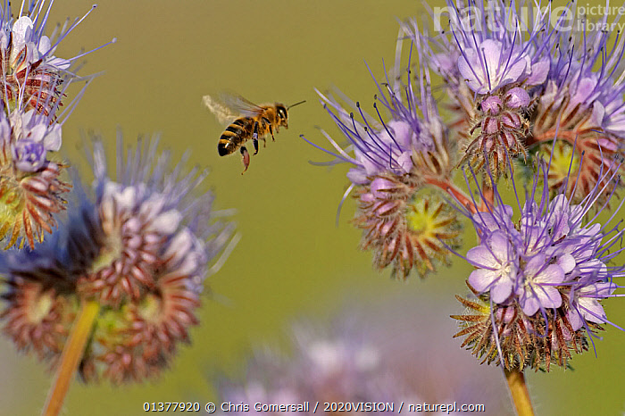 European honey bee (Apis mellifera) worker flying towards a Scorpionweed (Phacelia tancetifolia) flower in a conservation margin in order to feed, Hope Farm RSPB reserve, Cambridgeshire, England, UK, May  ,  2020VISION,APIDAE,BEES,CONSERVATION,DICOTYLEDONS,ENGLAND,FEEDING,FLOWERS,HABITAT,HYDROPHYLLACEAE,INVERTEBRATES,POLLINATION,PURPLE,RESERVE,UK,ARTHROPODS,EUROPE,FARMLAND,FLYING,HYMENOPTERA,INSECTS,PLANTS,United Kingdom ,honeybee,honeybees,,Dispersal,  ,  Chris Gomersall / 2020VISION