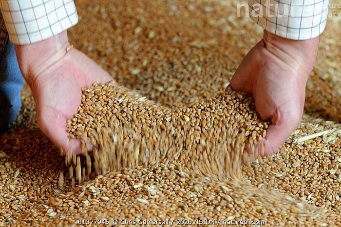 A farmer lifting wheat grain into his hands for inspection in the grain store at Hope Farm RSPB reserve, Cambridgeshire, England, UK, August  ,  2020VISION,AGRICULTURE,CROPS,ENGLAND,PEOPLE,RESERVE,UK,BLURRED,CONCEPTS,EUROPE,FARMLAND,HANDS,HARVESTING,INDOORS,MOVEMENT,SEEDS,United Kingdom,2020cc  ,  Chris Gomersall / 2020VISION