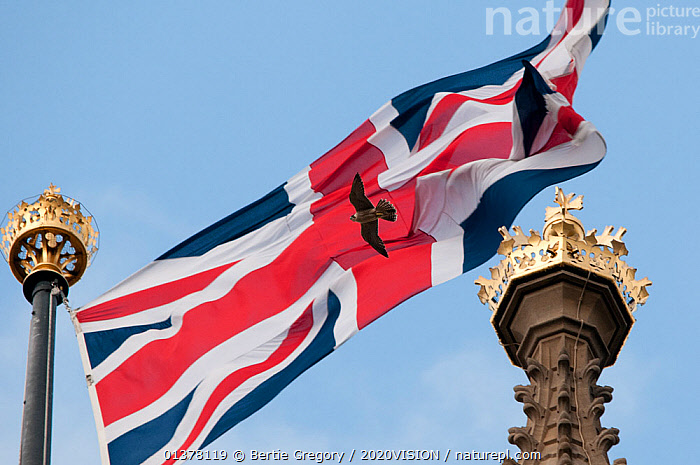 Juvenile Peregrine falcon (Falco peregrinus) flying in front of a Union Jack flag on top of the Houses of Parliament, London, England, UK, July. 2020VISION Exhibition. 2020VISION Book Plate. Did you know? The word 'Peregrine' means 'wandering'., 2020vision book plate,2020vision exhibition,BIRDS,concepts,PICDAY,EUROPE,exhibition,FALCONS,FLYING,LOW ANGLE SHOT,one,2020VISION,BIRDS OF PREY,BUILDINGS,CITIES,ENGLAND,Falconidae,FLAGS,JUVENILE,UK,URBAN,VERTEBRATES,United Kingdom,2020cc, Bertie Gregory / 2020VISION