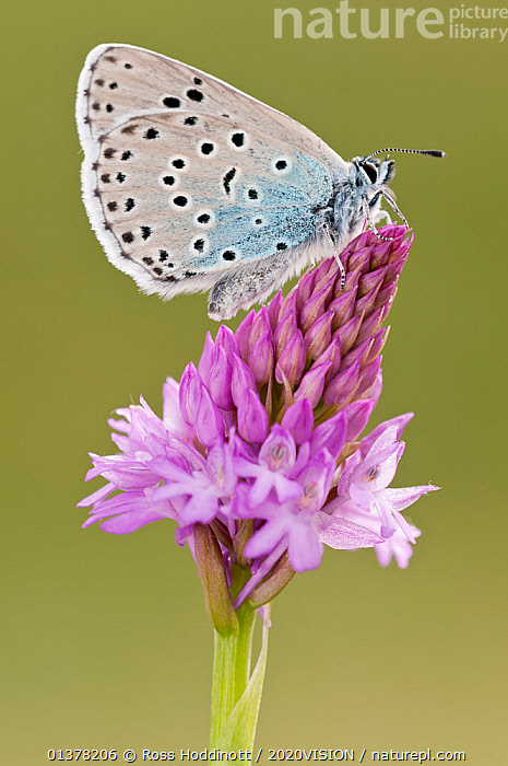 Large blue butterfly (Phengaris arion) resting on Pyramidal orchid (Anacamptis pyramidalis) flower, Collard Hill, Somerset, England, UK, June 2011  ,  2020VISION, ARTHROPODS, BUTTERFLIES, CONSERVATION, ENDANGERED, ENGLAND, EUROPE, FLOWERS, GRASSLAND, INSECTS, INVERTEBRATES, LEPIDOPTERA, MONOCOTYLEDONS, ORCHIDACEAE, orchids, PLANTS, PURPLE, Reintroduction, SPOTS, SPOTTED, UK, VERTICAL, wings closed,United Kingdom  ,  Ross Hoddinott / 2020VISION