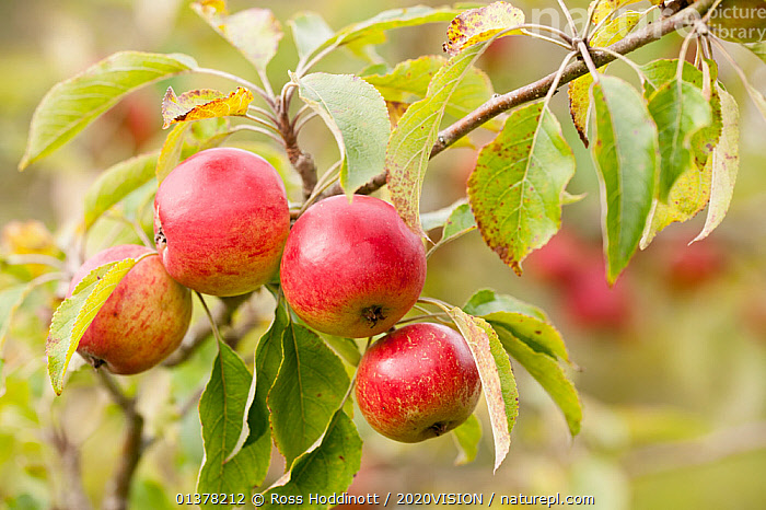 Apples (Malus domestica) growing in traditional orchard at Cotehele National Trust property, Cornwall, England, UK, August 2011  ,  2020VISION, CROPS, DICOTYLEDONS, EDIBLE, ENGLAND, EUROPE, FARMLAND, food, FRUIT, harvest, LEAVES, orchards, PLANTS, ROSACEAE, UK,United Kingdom,2020cc  ,  Ross Hoddinott / 2020VISION