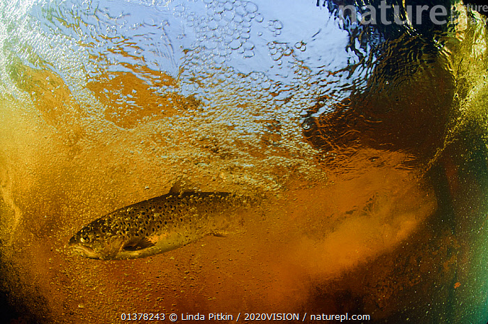 Brown trout (Salmo trutta) in turbulent water at a weir, River Ettick, Selkirkshire, Scotland, UK, October, EUROPE,FISH,FLOWING,RIVER TROUT,TROUT,2020VISION,FAST FLOWING,FRESHWATER,OSTEICHTHYES,RIVERS,SCOTLAND,TURBULENCE,UK,UNDERWATER,VERTEBRATES,United Kingdom,2020cc, Linda Pitkin / 2020VISION