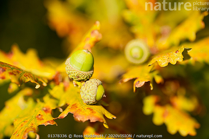 Close up of acorns and autumnal foliage ofEnglish oak (Quercus robur), Arne RSPB reserve, Dorset, England, UK, September. Did you know? Acorns are not produced until the tree is at least 40 years old., AUTUMN,CLOSE UPS,EUROPE,FAGACEAE,HEATH,PLANTS,SEEDS,2020VISION,DICOTYLEDONS,ENGLAND,HEATHLAND,LEAVES,RESERVE,picday,UK,YELLOW,United Kingdom,2020cc, Ross Hoddinott / 2020VISION