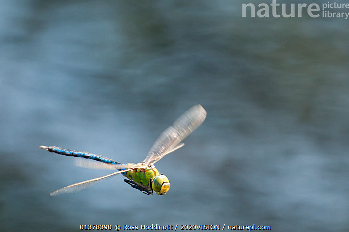RF- Male Emperor Dragonfly (Anax imperator) in flight, Arne RSPB reserve, Dorset, England, UK, July. Did you know? Dragonflies spend up to six years as drab aquatic nymphs for only a few weeks as colourful, acrobatic adults. (This image may be licensed either as rights managed or royalty free.), 2020VISION,ARTHROPODS,Blurred,copyspace,DRAGONFLIES,ENGLAND,EUROPE,FLYING,Heath,HEATHLAND,INSECTS,INVERTEBRATES,MOVEMENT,ODONATA,picday,RESERVE,UK,WINGS RF16Q4,ANAX IMPERATOR,Animal,Arthropod,Insect,Pterygota,Hawker dragonfly,Emperor dragonfly,Animalia,Animal,Wildlife,Hexapoda,Arthropod,Invertebrate,Hexapod,Arthropoda,Insecta,Insect,Odonata,Pterygota,Aeshnidae,Hawker dragonfly,Hawker,Darner dragonfly,Darner,Dragonfly,Anisoptera,Epiprocta,Anax,Anax imperator,Emperor dragonfly,Blue emperor,Aeschna azurea,Anax mauricianus,Aeschna lunatus,Flying,Decisions,Focus,Direction,Effort,Exertion,Trying,Energetic,Escape,Escapes,Escaping,Fear,Humorous,On The Move,Speed,Urgency,Craziness,Crazy,Insane,Insanity,Mad,Madness,Nobody,Streamlined,Furious,Terrified,Panic,Europe,Western Europe,UK,Great Britain,England,Dorset,Day,Nature,Wild,Adult,Negative space,Moving,Purpose,Focused,Hurrying,RF,Royalty free,RFCAT1,RF16Q4,, Ross  Hoddinott / 2020VISION