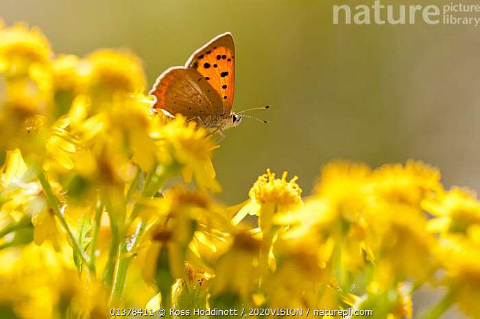 Small copper (Lycaena phlaeas) butterfly resting on Common ragwort (Senecio jacobaea), Arne RSPB reserve, Dorset, England, UK, August, ARTHROPODS,BUTTERFLIES,EUROPE,HEATH,INSECTS,2020VISION,ENGLAND,FLOWERS,HEATHLAND,INVERTEBRATES,LEPIDOPTERA,MACRO,RESERVE,UK,YELLOW,United Kingdom,2020cc, Ross Hoddinott / 2020VISION