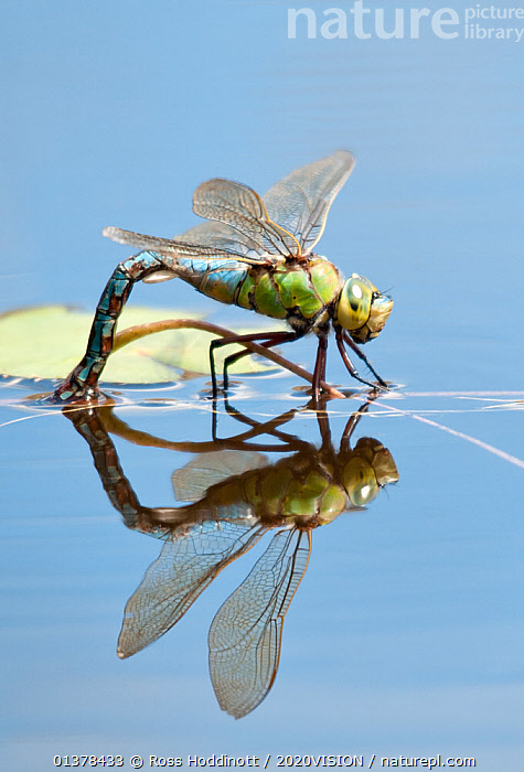 Female Emperor dragonfly (Anax imperator) laying eggs, Cornwall, England, UK, April  ,  2020VISION,BEHAVIOUR,DRAGONFLIES,ENGLAND,FEMALES,HEATHLAND,INVERTEBRATES,ODONATA,UK,ARTHROPODS,EGG LAYING,EUROPE,HEATH,INSECTS,PONDS,REFLECTIONS,VERTICAL,WATER,WETLANDS,United Kingdom,2020cc  ,  Ross Hoddinott / 2020VISION