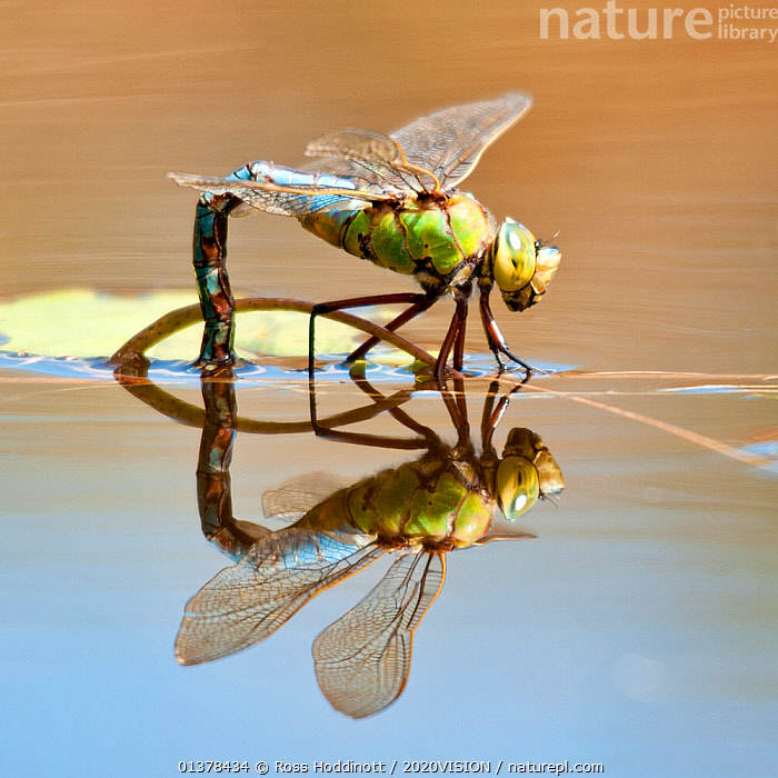 Female Emperor dragonfly (Anax imperator) laying eggs, Cornwall, England, UK, April  ,  2020VISION,BEHAVIOUR,DRAGONFLIES,ENGLAND,FEMALES,HEATHLAND,INVERTEBRATES,ODONATA,UK,ARTHROPODS,EGG LAYING,EUROPE,HEATH,INSECTS,PONDS,REFLECTIONS,WATER,WETLANDS,United Kingdom  ,  Ross Hoddinott / 2020VISION