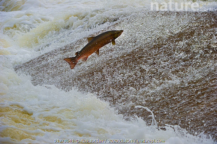 Atlantic salmon (Salmo salar) leaping up the cauld at Philphaugh Salmon Viewing Centre near Selkirk, where members of the public can view the spectacle, Selkirkshire, Scotland, UK, October 2011, 2020VISION,BEHAVIOUR,JUMPING,MARINE,OSTEICHTHYES,RIVERS,SCOTLAND,UK,VERTEBRATES,EUROPE,FISH,SALMON,United Kingdom,2020cc, Rob Jordan / 2020VISION