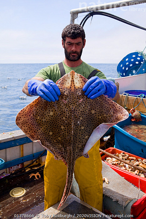 Fisherman holding a Blonde ray (Raja brachyura), caught using tangle net aboard a fishing boat, St. Ives, Cornwall, England, UK, June 2011  ,  2020VISION, ABOARD, BOATS, Caucasian, CHONDRICHTHYES, COASTAL-WATERS, ENGLAND, EUROPE, FISH, FISHERIES, Fisherman, Fishermen, FISHING, FISHING-BOATS, MAN, one, outdoors, PEOPLE, RAYS, Saint Ives, seas, st ives, sustainable, UK, VERTEBRATES, WORKING, WORKING-BOATS,United Kingdom,2020cc  ,  Toby Roxburgh / 2020VISION
