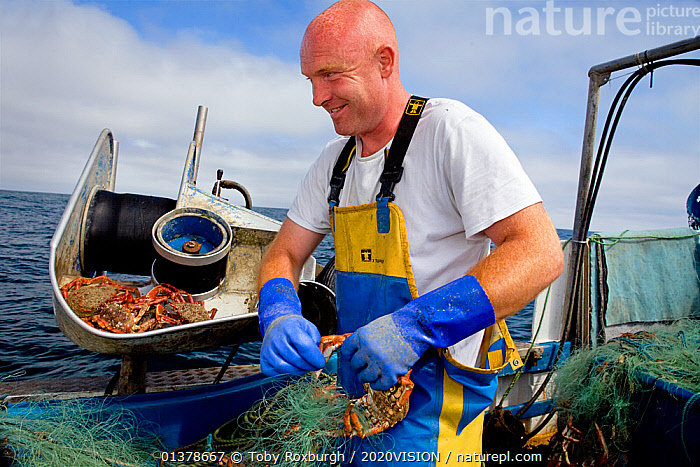 Fisherman removing a Spiny spider crab (Maja squinado) from a tangle net on a small fishing boat, St. Ives, Cornwall, England, UK, June 2011 Model released  ,  ABOARD,ARTHROPODS,BOATS,CAUCASIAN,COASTAL WATERS,CRUSTACEANS,EUROPE,FISHERIES,FISHERMEN,FISHING,MAN,ONE,OUTDOORS,SAINT IVES,SPIDER CRABS,ST IVES,SUSTAINABLE,WORKING,WORKING BOATS,2020VISION,CRABS,ENGLAND,FISHERMAN,FISHING BOATS,INVERTEBRATES,PEOPLE,SEAS,UK,United Kingdom  ,  Toby Roxburgh / 2020VISION