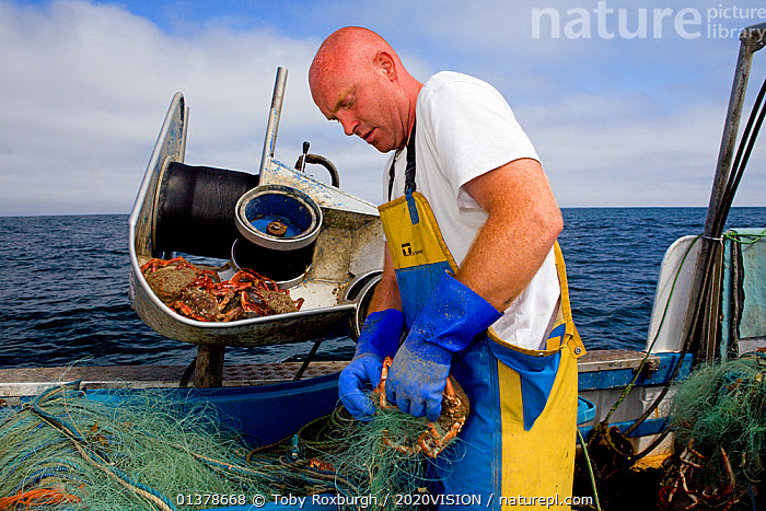 Fisherman removing a Spiny spider crab (Maja squinado) from a tangle net on a small fishing boat, St. Ives, Cornwall, England, UK, June 2011 Model released  ,  2020VISION,CRABS,ENGLAND,FISHERMAN,FISHING BOATS,INVERTEBRATES,PEOPLE,SEAS,UK,ABOARD,ARTHROPODS,BOATS,CAUCASIAN,COASTAL WATERS,CRUSTACEANS,EUROPE,FISHERIES,FISHERMEN,FISHING,MAN,ONE,OUTDOORS,SAINT IVES,SPIDER CRABS,ST IVES,SUSTAINABLE,WORKING,WORKING BOATS,United Kingdom  ,  Toby Roxburgh / 2020VISION
