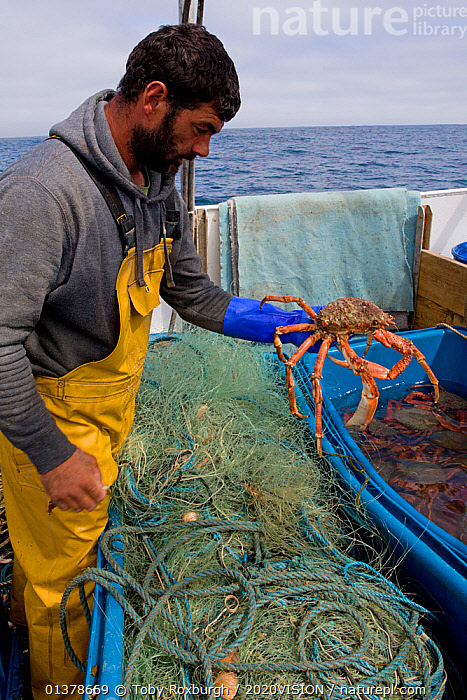Fisherman putting a Spiny spider crab (Maja squinado) into a seawater storage container on a small fishing boat, St. Ives, Cornwall, UK, June 2011 Model released  ,  2020VISION,CRABS,ENGLAND,FISHERMAN,FISHING BOATS,INVERTEBRATES,PEOPLE,SEAS,UK,ABOARD,ARTHROPODS,BOATS,CAUCASIAN,COASTAL WATERS,CRUSTACEANS,EUROPE,FISHERIES,FISHERMEN,FISHING,MAN,ONE,OUTDOORS,SAINT IVES,SPIDER CRABS,ST IVES,SUSTAINABLE,VERTICAL,WORKING,WORKING BOATS,United Kingdom  ,  Toby Roxburgh / 2020VISION