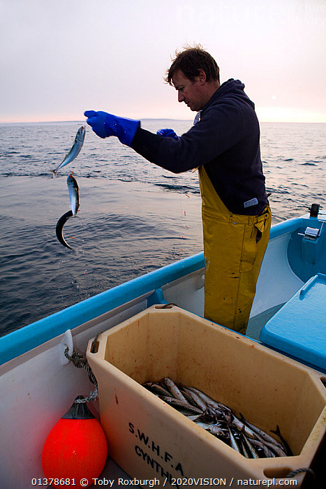 Fisherman handlining for Atlantic mackerel (Scomber scombrus) from a small boat, Newlyn, Cornwall, England, UK, April 2011 Model released  ,  2020VISION,ENGLAND,FISHERMAN,FISHING BOATS,LINE CAUGHT,MACKEREL,MARINE,OSTEICHTHYES,PEOPLE,SEAS,UK,VERTEBRATES,ABOARD,BOATS,CAUCASIAN,COASTAL WATERS,EUROPE,FISH,FISHERIES,FISHERMEN,FISHING,MAN,ONE,OUTDOORS,SUSTAINABLE,VERTICAL,WORKING,WORKING BOATS,United Kingdom  ,  Toby Roxburgh / 2020VISION