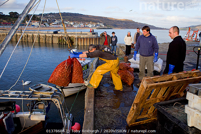 Fishermen unloading bags of Common whelks (Buccinum undatum) at the harbour (The Cobb), Lyme Regis, England, UK, February 2011  ,  2020VISION,ENGLAND,FISHERMAN,FISHING BOATS,INVERTEBRATES,MARINE,PEOPLE,SEAS,SEVEN,TRADE,UK,BOATS,CAUCASIAN,COASTAL WATERS,COASTS,EUROPE,FISHERIES,FISHERMEN,FISHING,GASTROPODS,GROUPS,MEN,MOLLUSCS,MOORED,OUTDOORS,SNAILS,WORKING,WORKING BOATS,United Kingdom,,Dorset and East Devon Coast, UNESCO World Heritage Site,  ,  Toby Roxburgh / 2020VISION