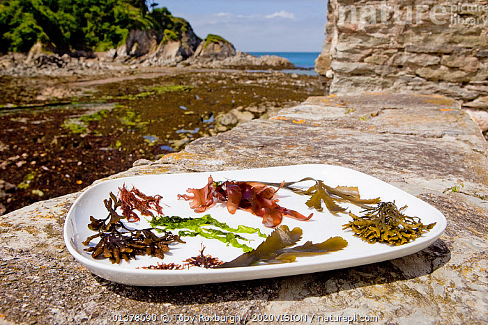 Collection of typical edible temperate marine algal /seaweed species displayed on a plate on a rocky shore in summer, North Devon, England, UK, May 2011  ,  2020VISION,ENGLAND,FOOD,FORAGING,SEAS,UK,ALGAE,CONCEPTS,EDIBLE,EUROPE,LITTORAL,PLANTS,SEAWEEDS,Intertidal,United Kingdom  ,  Toby Roxburgh / 2020VISION