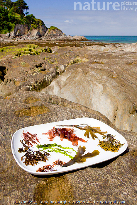 Collection of typical edible temperate marine algal / seaweed species displayed on a plate on a rocky shore in summer, North Devon, England, UK, May 2011  ,  ALGAE,CONCEPTS,EDIBLE,EUROPE,LITTORAL,PLANTS,SEAWEEDS,VERTICAL,2020VISION,ENGLAND,FOOD,FORAGING,SEAS,UK,Intertidal,United Kingdom  ,  Toby Roxburgh / 2020VISION